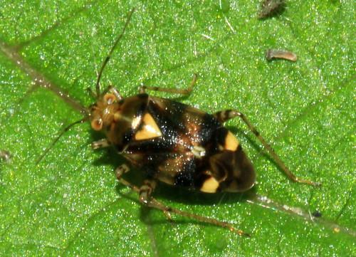Liocoris tripustulatus 28536