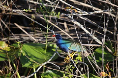 PURPLE GALLINULE #2