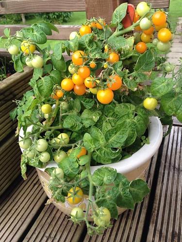 kollane tomat