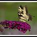 Eastern Tiger Swallowtail by NavjotSingh