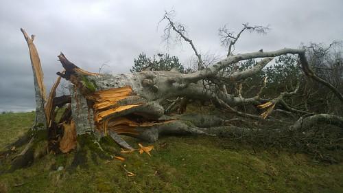 tree fallen stormdoris nature cameraphone lumia1020