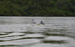 Amazon River Dolphin or Tonina (Inia geoffrensis)