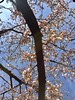 cherry blossoms looking up
