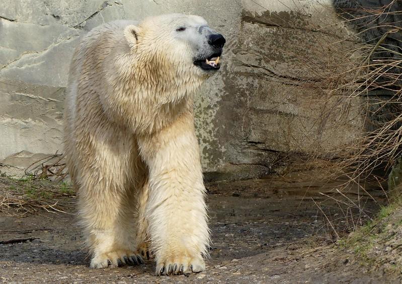 Polar Bear Nanuq