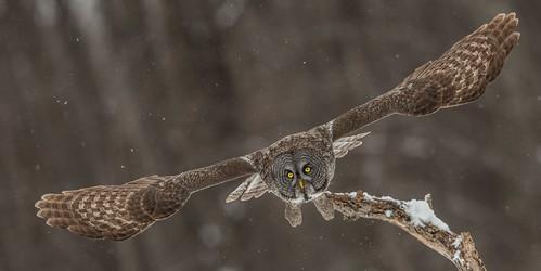 lescèdres québec canada greatgrayowl owl grayowl phantomofthenorth cinereousowl spectralowl laplandowl spruceowl beardedowl sootyowl strixnebulosa strix strigidae trueowl typicalowl nigelje montreal bird