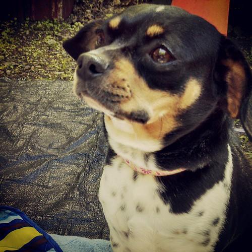 Our former #foster baby Rosie #dogstagram #adoptdontshop #rescue