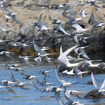 Arctic Terns 'dreading' at the Skerries - by Sea Kayaking Anglesey