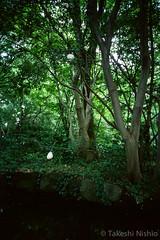モリアオガエルの卵 / Eggs of forest green tree frog