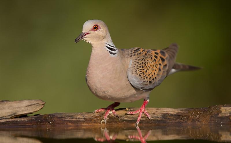 Turtle Dove [beautiful bird]