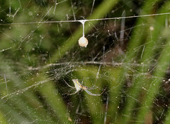 arthropod, animal, spider, nature, macro photography, green, fauna, close-up, orb weaver spider, plant stem, spider web,