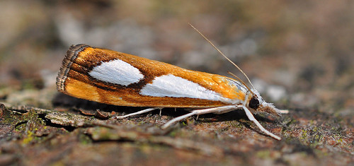 1313 Catoptria pinella Blean Woods by Kinzler Pegwell