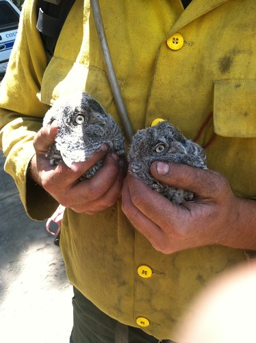 Nick Gauthier, a firefighter with Stanislaus National Forest Engine 12, holds two baby owls that fell out of a tree during the Carstens Fire on the Sierra National Forest. (U.S. Forest Service photo)