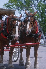 mare, vehicle, halter, pack animal, horse tack, horse, horse harness, horse and buggy, carriage,