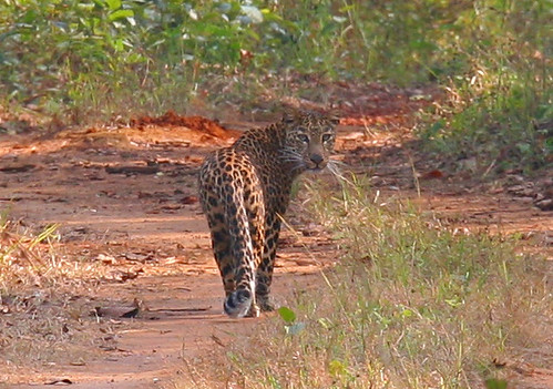 Smithsonian Conservation Biology Institute Studies Prove Habitat Fragmentation Affects Gene Flow in India's Leopard and Tiger Populations