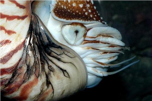05、鸚鵡螺的腕數目眾多,且不具吸盤,迥異於其他現生的頭足類。圖片作者:李坤瑄。