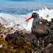 Black Oystercatcher by Tom Clifton