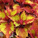 Small photo of Coleus Henna
