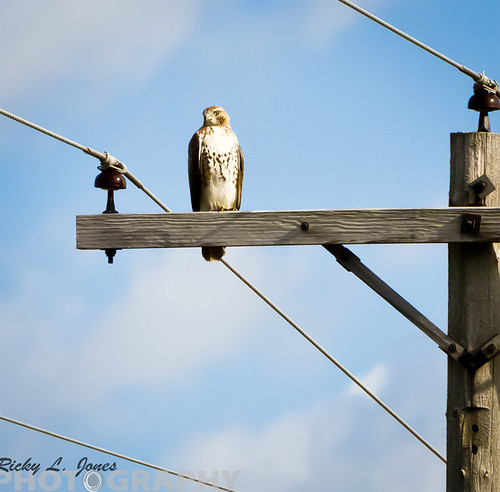 Red-tailed waiting for the Bus by Ricky L. Jones Photography