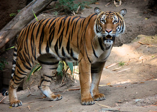 Beautiful Tiga