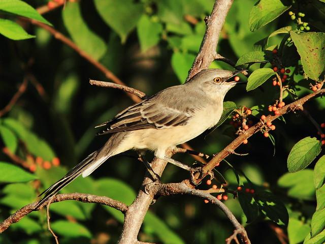 Northern Mockingbird eating Trema 20130920