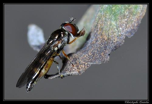 Platycheirus scutatus