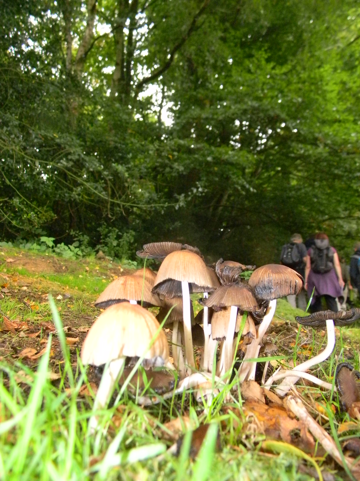 Inkcaps And is that a couple of fairies scuttling off into the undergrowth? Hever to Ashurst