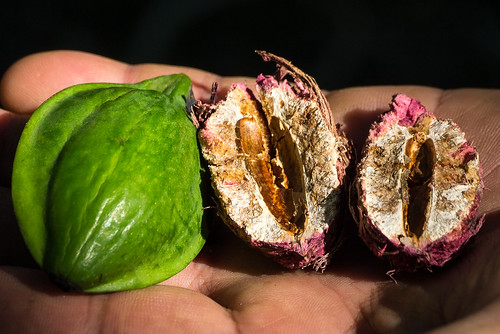 nuts pacificocean macadamia noten frenchpolynesia jacquesbrel hivaoa paulgaugin marquesasislands atuona themarquesasislands macadamianoten franspolynesië