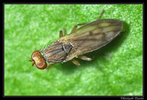 Opomyza germinationis