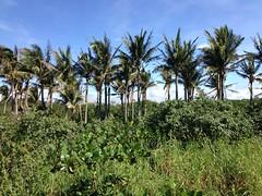 後灣的椰子樹景觀。