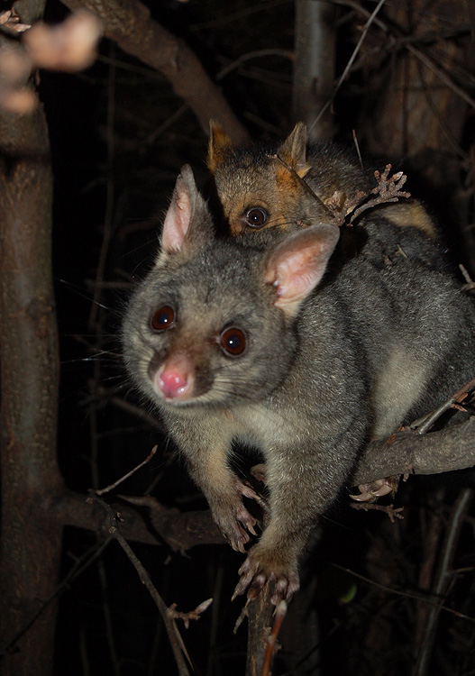 possums_mother_and_child-16