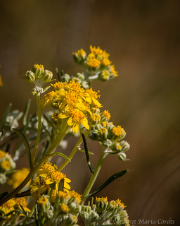 coastal wildflowers in Nov bloom