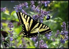 Swallowtail Butterfly 4