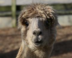arabian camel(0.0), alpaca(1.0), animal(1.0), llama(1.0), fauna(1.0), close-up(1.0), camel-like mammal(1.0),