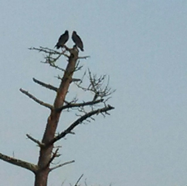 Two Vultures Hanging Out