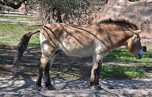 horse zoo texas endangered rare brownsville przewalskishorse gladysporterzoo equusferusprzewalskii nikond7000 nikkor18to200mmvrlens