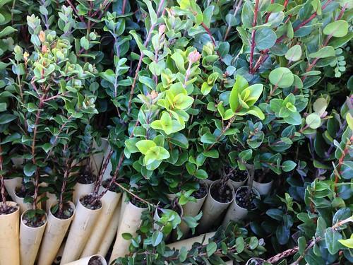 Rack full of ʻŌhiʻa for planting.