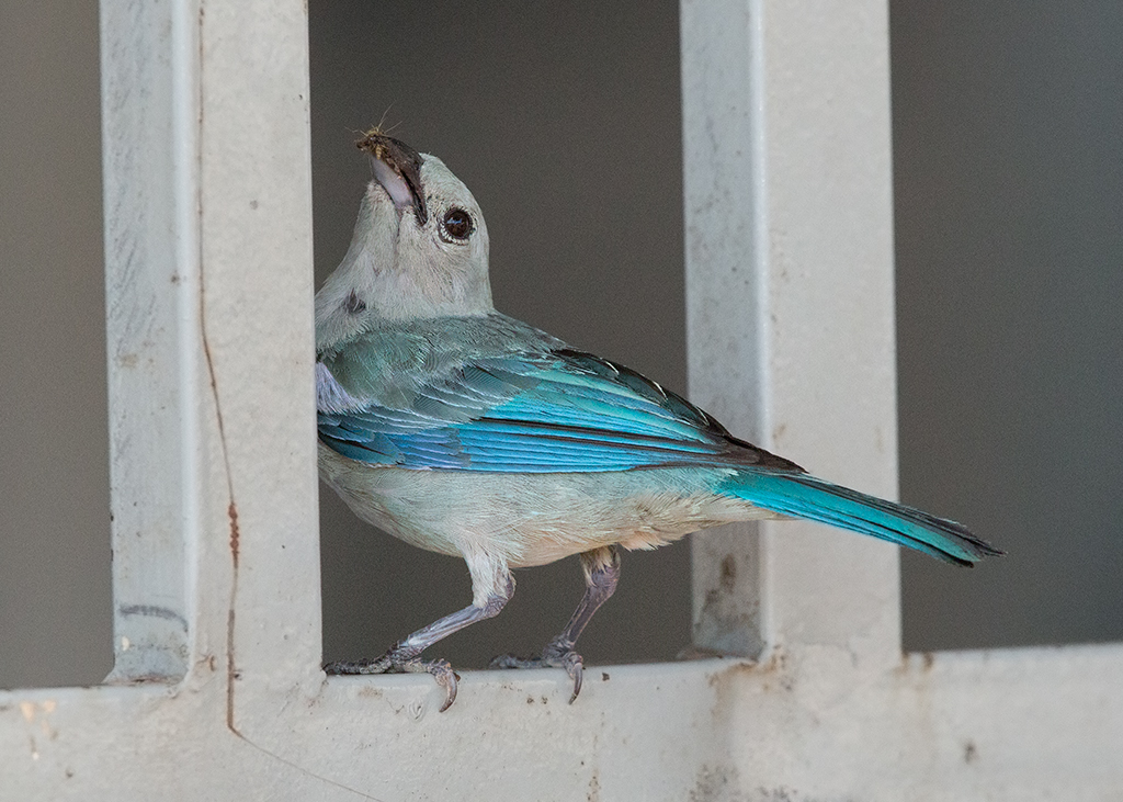 Blue Grey Tanager 2014-01-21