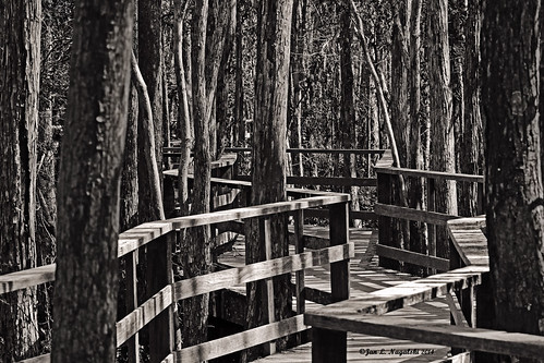trees winter blackandwhite forest shadows florida path highcontrast trail swamp boardwalk cypress contrasts sanctuary southflorida audubon canon60d jannagal jannagalski nationalaudubonscorkscrewswampsanctuary