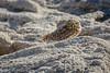 Burrowing Owl, Owens Lake (Eastern Sierra) by Robin Black Photography