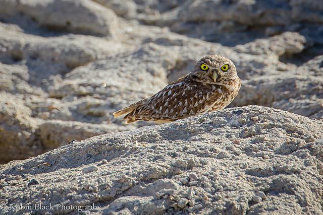 Burrowing Owl, Owens Lake (Eastern Sierra)