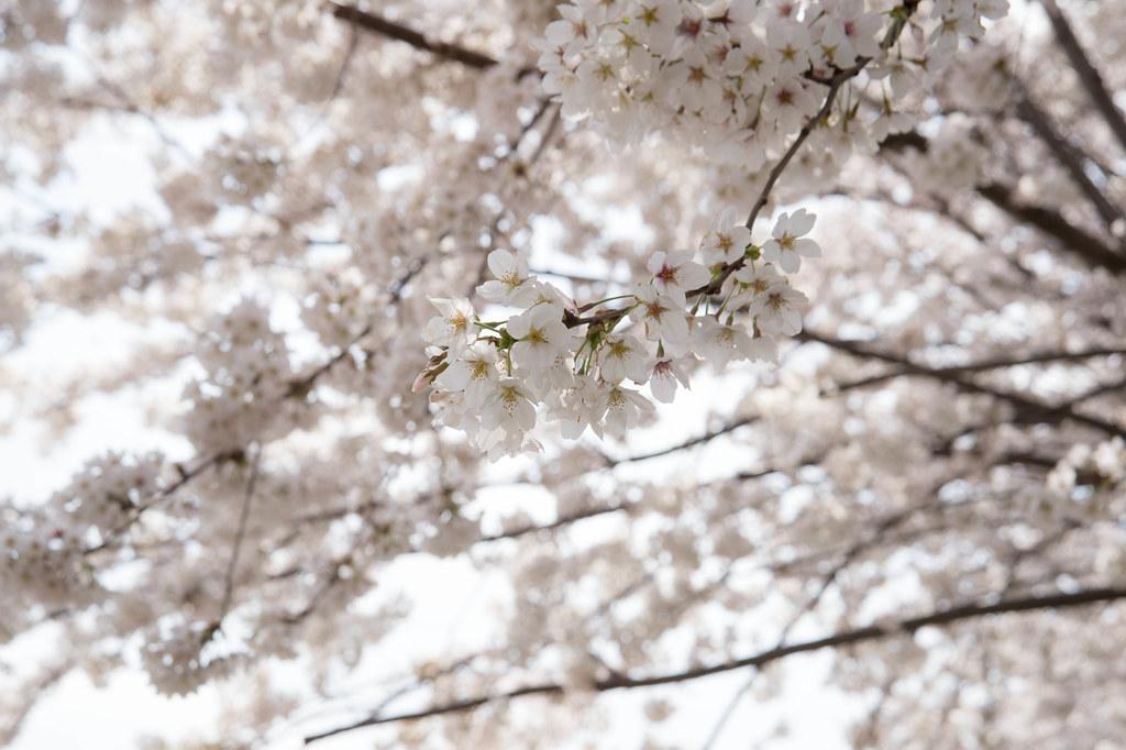 黒目側の桜