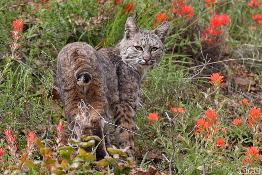 Bobcat-041014-6
