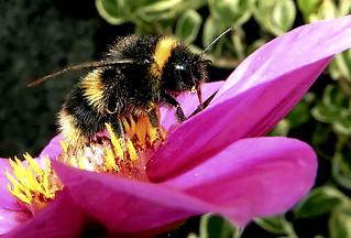 Bumblebee Close Up. Nikon P100. DSCN2953.