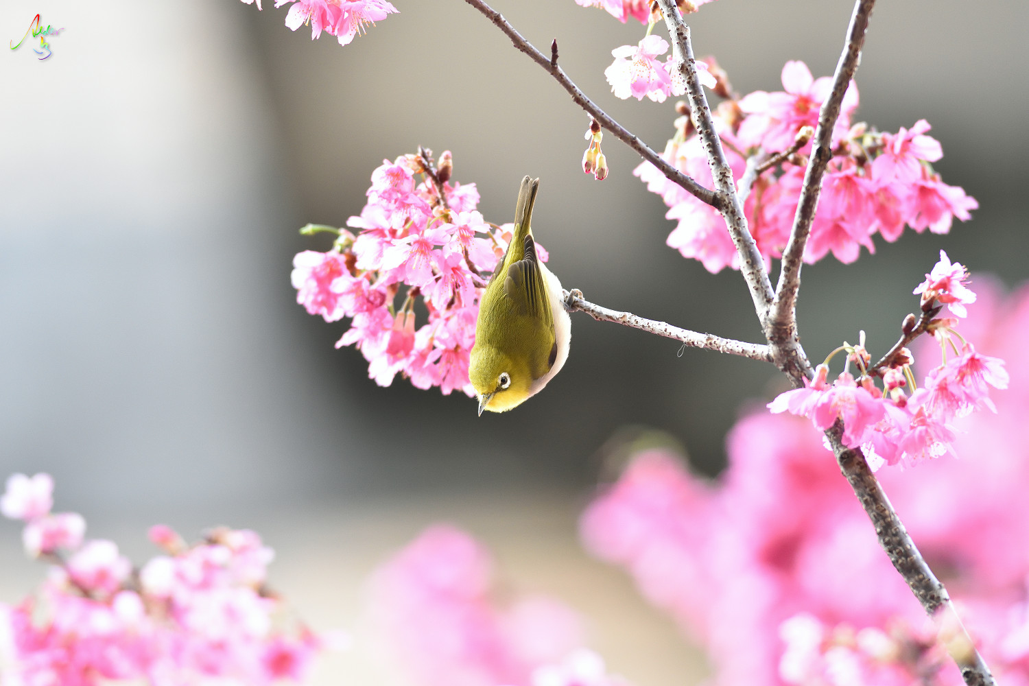 Sakura_White-eye_8185