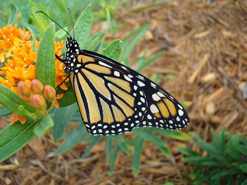 This is a close up view of a Monarch butterfly on a butterfly weed plant. Monarchs and caterpillars are regulars at the Cranberry Mountain Nature Center Native Plant and Pollinator Garden in Richwood, WV. U.S. Forest Service photo by Rosanna Springston.