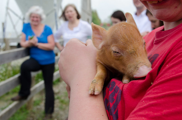 A young piglet at the Perth Pork family farm. A foodie Day Trip from Toronto