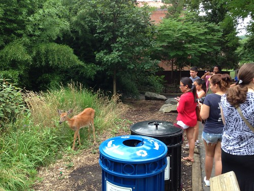 Stray wild deer in National Zoo