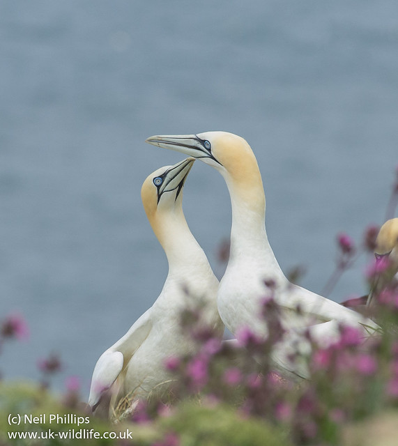 Courting gannets 3