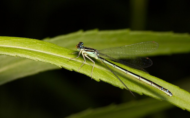 A female Rainbow Bluet.  Taken at Lake Louise State Park in southern Minnesota.