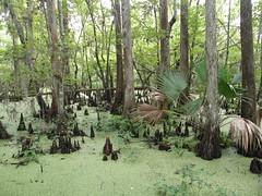 Bosque inundado de ciprés calvo (Taxodium distichum)